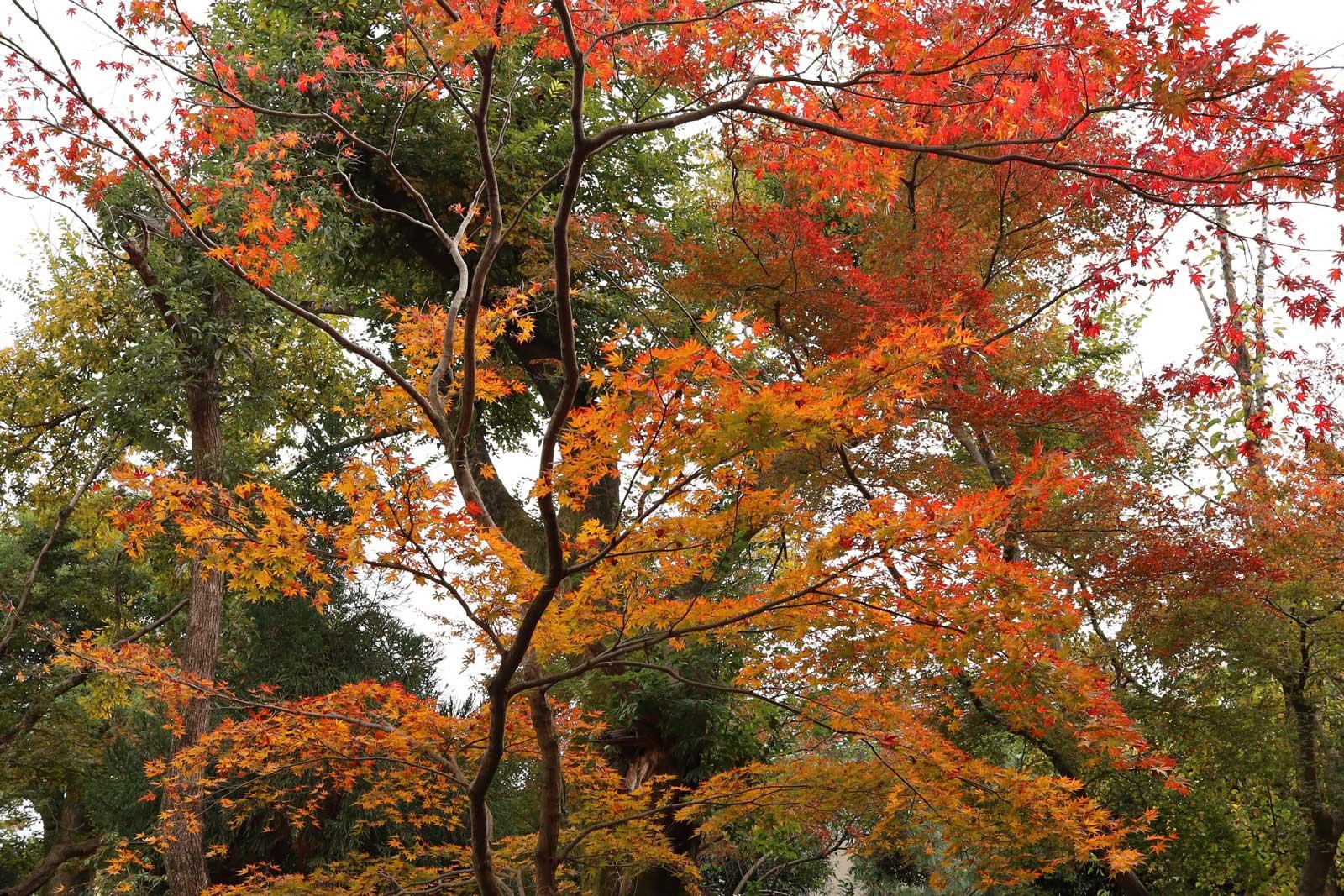 浄住寺の紅葉